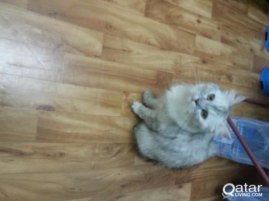 Persian cat for free adoption.