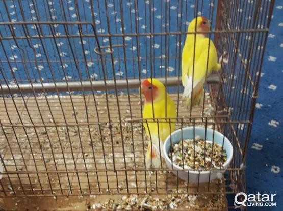 3 birds for sale urgent
