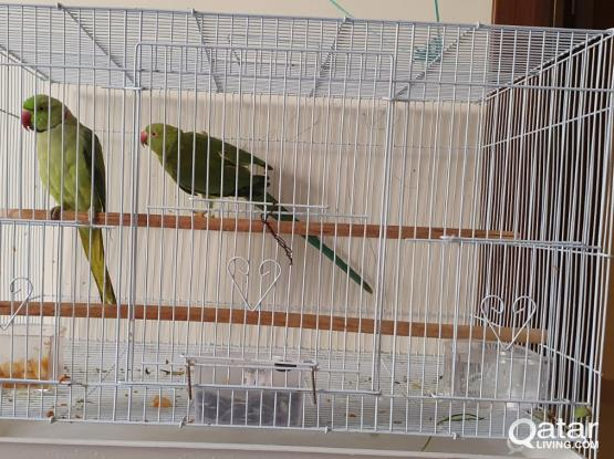 Indian Parrot for sale (Male & Female) with Bird Cage !!!