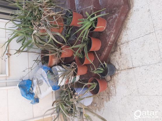 ALOVERA PLANTS