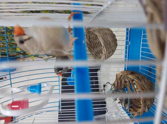 Finches pairs for sale