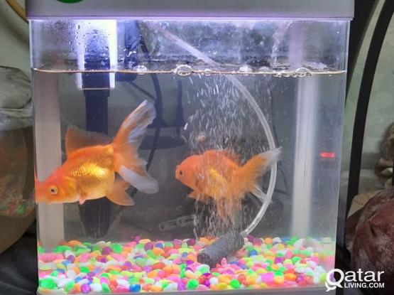 Aquarium and Two Goldfish