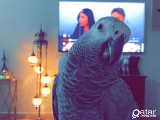 African Gray Parrot !