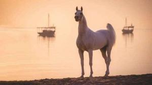 International Arabian Horses Festival 2021