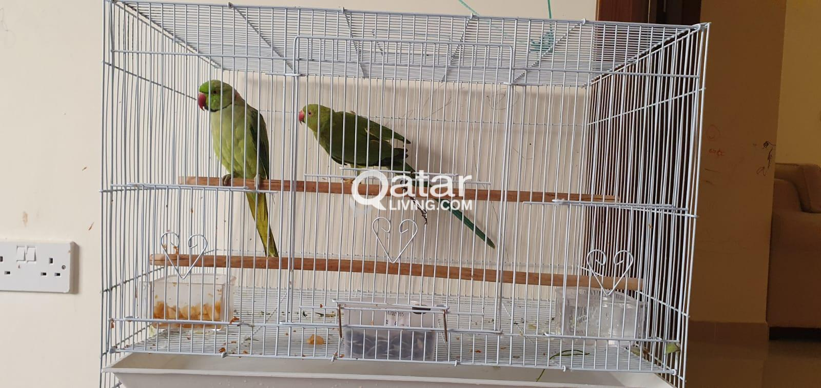 Indian Parrot for sale (Male & Female) with Bird C